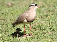 Mom as an umbrella - Crowned Lapwing, Vanellus coronatus - baby sheltering in adult's shadow.