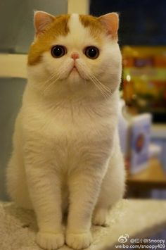 Snoopy the Exotic Shorthair. The cutest cat in the world! *-*