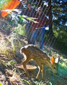 Zoe and Eve Egan observe the newest fawn to be transferred from Native Animal Rescue to the new outdoor enclosure in the Santa Cruz Mountains where a volunteer with raise her till she's ready to be released.
