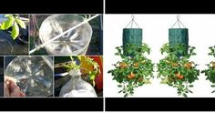 ¡Aprende a cultivar tomates en botellas de plástico!