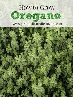 Everything Plants and Flowers: How to Grow Oregano