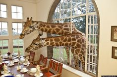 Ever dream of vacationing w/ a giraffe?! Well, now you can at Giraffe Manor, located outside of Nairobi, Kenya. The gentle giants will even grab a seat at the kitchen table to dine with you! Learn more with the Huffington Post. (photo: Flickr/the Safari Collection)