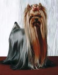 Find Out More On The Yorkshire Terrier Dog Exercise Needs Dog Training Methods, Basic Dog Training, Dog Training Techniques, Training Dogs, Skye Terrier, Terrier Dogs, Yorkshire Terrier Dog, Yorky Terrier, Puppy Obedience Training