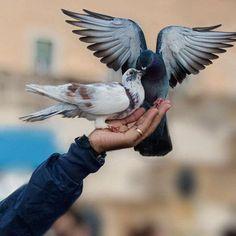 birds of the pigeon   güvercin kuşları