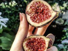 Cyprus black fig tree cuttings ficus carica self fertile Ficus, Black Fig, Fig Tree, Fertility, Modern Design, Cuttings, Cyprus, Beautiful, Plant Cuttings