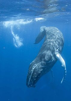 Huggy! - what gentle creatures! WHY CANT THE JAPANESE SEE THAT THEY ARE WRONG! now how would they feel if we started HARPOONING THEM? Harpooning their children? doesnt sound humane does it! SO WHY DO IT TO THE WHALES????????