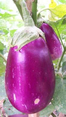 The cultivated eggplant or aubergine, Solanum melongena, is cultivated world wide for its fruits which are used in cooking.