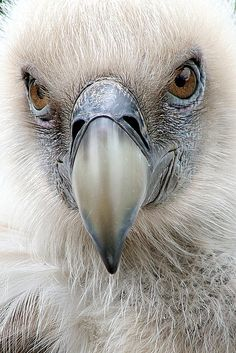 Fun fact: Bearded vultures have stomach acid that is more caustic than battery acid to help them digest bones.