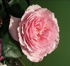 Mayra's Rose - Garden Rose