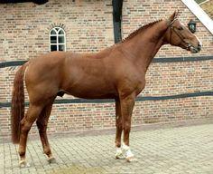 Dutch Warmblood - stallion Scandic