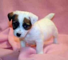 Jack Russell Puppy - one of my favourite breeds. Miss Leo! Little Puppies, Baby Puppies, Cute Puppies, Cute Dogs, Dogs And Puppies, Doggies, Maltese Puppies, Jack Russell Terriers, Jack Russell Puppies
