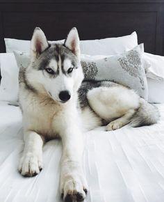 Wonderful All About The Siberian Husky Ideas. Prodigious All About The Siberian Husky Ideas. Best Puppies, Cute Puppies, Cute Dogs, Dogs And Puppies, Corgi Puppies, Doggies, Siberian Husky Puppies, Husky Puppy, Siberian Huskies