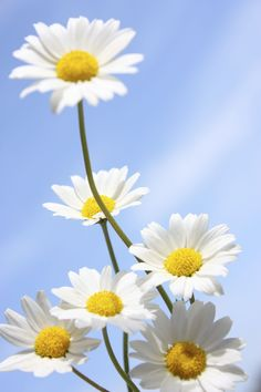 """Daisy comes from the Old English """"daes eage,"""" meaning """"day's eye."""" The name refers to the way they close their petals in the evening, and open again at dawn, marking the beginning of a new day.   - CountryLiving.com"""