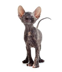 The Donskoy breed is a hairless Russian breed, not related to the more common Sphynx. While the Sphynx's hairlessness is a recessive gene, it's a dominant trait in the Donskoy. This Donskoy kitten seems satisfied.