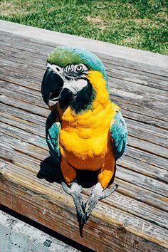 Pelo movimento da linguinha,ele está com sede.Já tive papagaios ,e esse movimento fazem  quando querem tomar água.