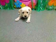 A412160, A412161 MORENO VALLEY ANIMAL SHELTER (2 PUPPIES) URGENT! is an adoptable Labrador Retriever Dog in Moreno Valley, CA. Dogs & Puppies at the Moreno Valley Animal Services facility are in despe...