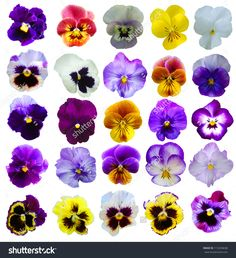 Find 25 Pansies Flowers On White Background stock images in HD and millions of other royalty-free stock photos, illustrations and vectors in the Shutterstock collection. Thousands of new, high-quality pictures added every day. Pansy Tattoo, Flower Tattoos, Art Floral, Exotic Flowers, Beautiful Flowers, Purple Flowers, Watercolor Flowers, Watercolor Paintings, Flower Art