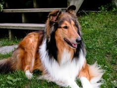 Rough Collies never get old with their beautiful coats and amazing personality: #stillwaiting