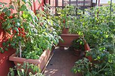 Faire pousser un potager sur son balcon, c'est possible. Tomate cerise, courgette, cresson, radis... Voici des légumes dont la culture en pots et jardinières est très simple. De quoi transformer votre balcon d'appartement en mini potager.