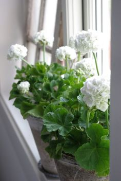 Beautiful white geraniums on a window sill (pelargoniums)