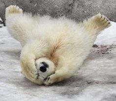 24 pics of adorable polar bear cubs chilling out in the snow showing us how to have a good time Cute Baby Animals, Animals And Pets, Funny Animals, Wild Animals, Bear Pictures, Animal Pictures, Animals Photos, Baby Polar Bears, Polar Cub