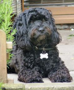 black cockapoo cocker spaniel miniature poodle hybrid dog in yard