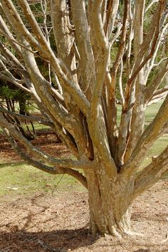 Persian Ironwood Parrotia persica Branches 2000px - Parocie – Wikipedie