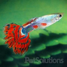 this is male not female guppy red color tail