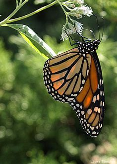 Monarch butterfly on dogbane by Laura Tangley