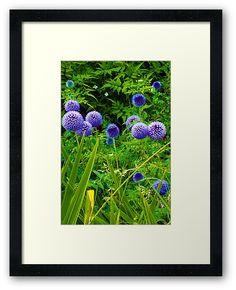 #Blue #Allium #Flowers by Judi Saunders. Framed print.