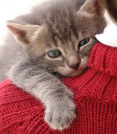 10 Tips to Help You Become the Best Cat Owner  --  ***  This cat reminds me of my Mr. Tips!  He loved to be on my shoulder like this!