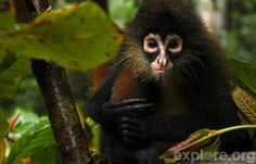 Spider monkeys can be noisy animals, and often communicate with many calls, screeches, barks, and other sounds..