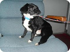 Minneapolis, MN - Chihuahua Mix. Meet Pipsqueak -Foster Needed 8/22, a dog for adoption. http://www.adoptapet.com/pet/11410303-minneapolis-minnesota-chihuahua-mix