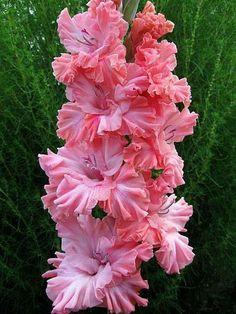 Glaïeul ... ( Photo de : How to Be, Book Author ) Gladíolo é o nome comum das plantas bulbosas floríferas do género Gladiolus da família iridaceae. O género Gladiolus contém cerca de 260 espécies, das quais 250 são nativas da África subsariana, principalmente da África do Sul.