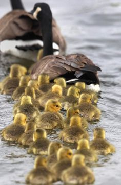zosia24:  A gaggle of Canada geese goslings (via pinterest)  Visit winnipegfreepress.com