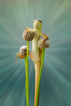 This lizard looks like a circus performer doing a juggling trick using three balls and stilts.