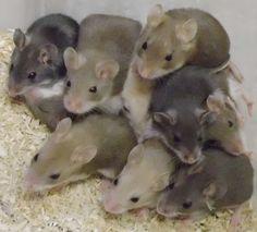 Oldfield Mice aka Beach Mice (Peromyscus polionotus)
