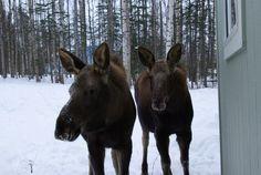 2 little baby moose