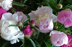 These are the very peonies that inspired our 2012 Pivoine Délicate collection.   #provence #peony #gardening
