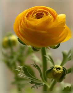 **Yellow Ranunculus
