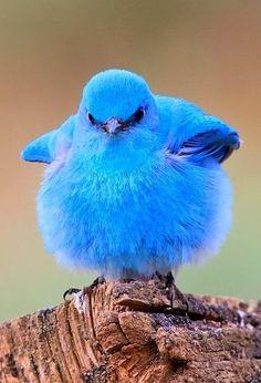 Blå morsom fugl
