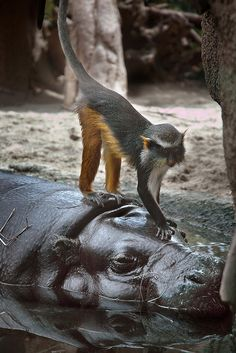 Wolf's Guenon on the head of a Pygmy Hippo at the San Diego Zoo
