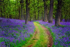 ***Bluebell path (Perthshire, Scotland) by David Mould / 500px
