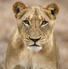 Lioness from the Selati pride in Mala Mala Beautiful Cats, Animals Beautiful, Lion And Lioness Tattoo, Lioness Tattoo Design, Female Lion Tattoo, Lioness Images, Afrika Tattoos, Animals And Pets, Cute Animals