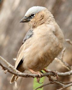 The Grey-headed or Grey-capped Social-weaver (Pseudonigrita arnaudi) is a species of bird in the Passeridae family. It is found in Ethiopia, Kenya, Somalia, Sudan, Tanzania, and Uganda.