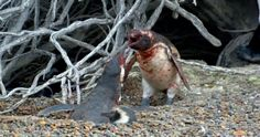 Penguin Gets Bitch Slapped After Catching Cheating Mrs Shagging Another Bloke :http://gossfeed.com/2016/11/07/penguin-fight/
