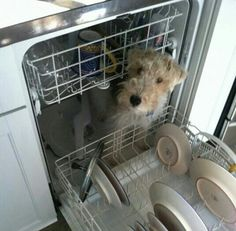 Wired hair fox terriers in dishwasher. Fox Terriers, Perro Fox Terrier, Wirehaired Fox Terrier, Welsh Terrier, Wire Fox Terrier, Airedale Terrier, Dog Pictures, Animal Pictures, Cute Puppies