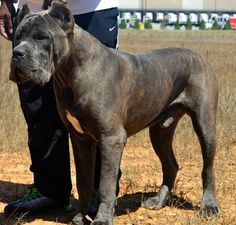 Hierarchy Cane Corso Leonidas That's what I'm going to name my dog. Cane Corso Italian Mastiff, Cane Corso Mastiff, Cane Corso Dog, Cane Corso Puppies, Mastiff Breeds, Mastiff Dogs, Huge Dogs, Giant Dogs, Dog Cat