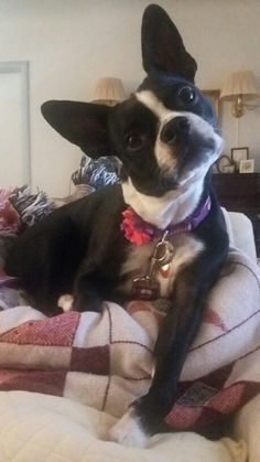 """My Boston Terrier, Figgy's expression when I say, """"cookie""""? Age approximately almost 4 years old -- June 2016. (This is not my decorating)"""