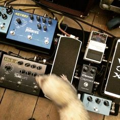 I'm guessing that Instagram musician @richsession has his hands full with this cute fella. #ferret #ferrets #pedalboard #strymon